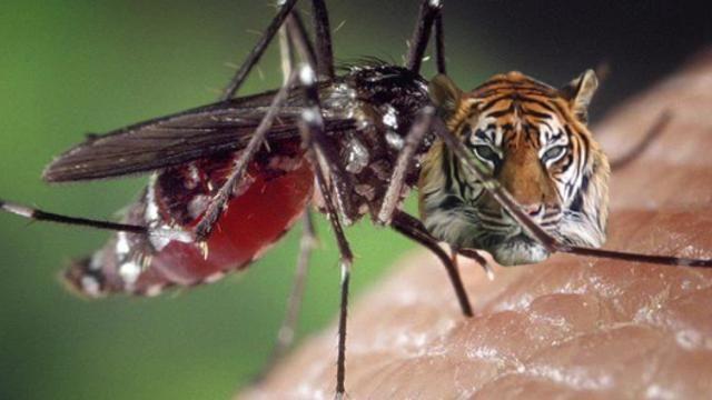 tiger masquito